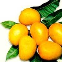 Saeed Naqvi, Langra mangoes